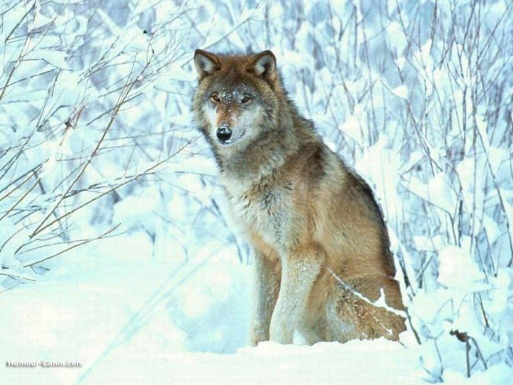 Le loup - Image de loup a imprimer ...